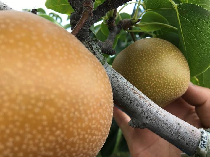 千葉県松戸市の「初清園」さんで聞いたおいしい梨の見分け方
