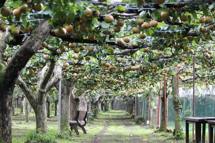 千葉県松戸市の梨園「初清園」の梨の木
