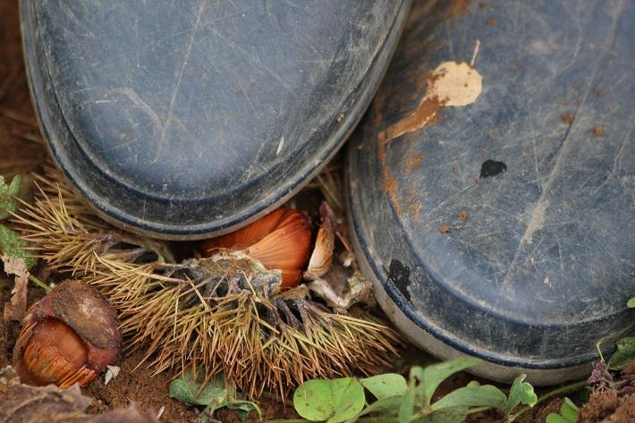 成田ゆめ牧場の栗拾い。イガを長靴で踏んで中の実を出します