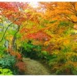 小林槭樹園は江戸時代から続く、カエデ・モミジ専門の植木屋さんですが、美しい紅葉が観賞できると有名に。