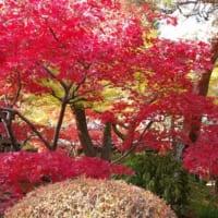 紫陽花で有名な千葉県松戸市の本土寺は秋には紅葉の名所となります