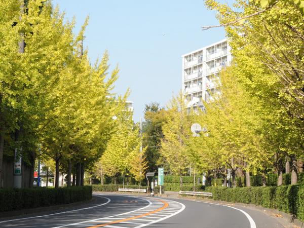 茨城県取手市の常総ふれあい道路の美しいイチョウ並木