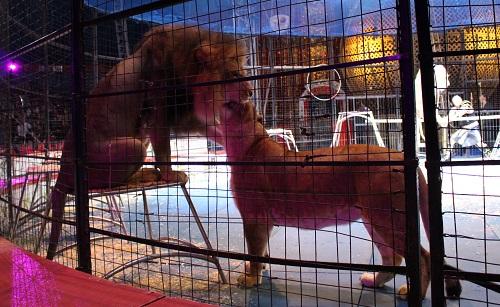 木下大サーカス 猛獣ショーのライオン