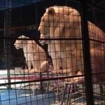木下大サーカス ホワイトライオン 猛獣ショーにて