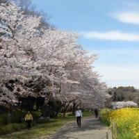 千葉市の花島公園は千葉県で人気の桜の名所です