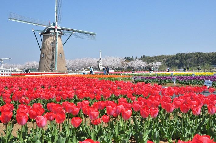 佐倉チューリップフェスタ2020オランダ風車