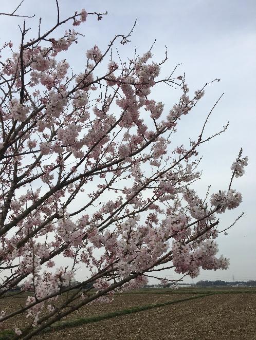 大野川沿いを彩る 130本のはるめき桜