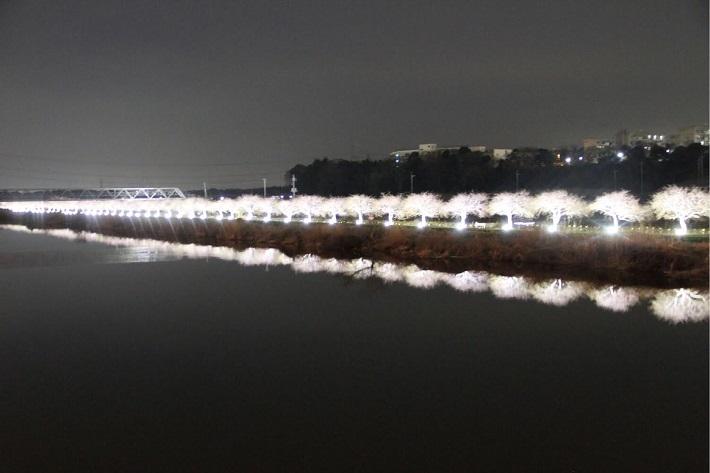 第三回 八千代新川千本桜まつりでライトアップされた桜