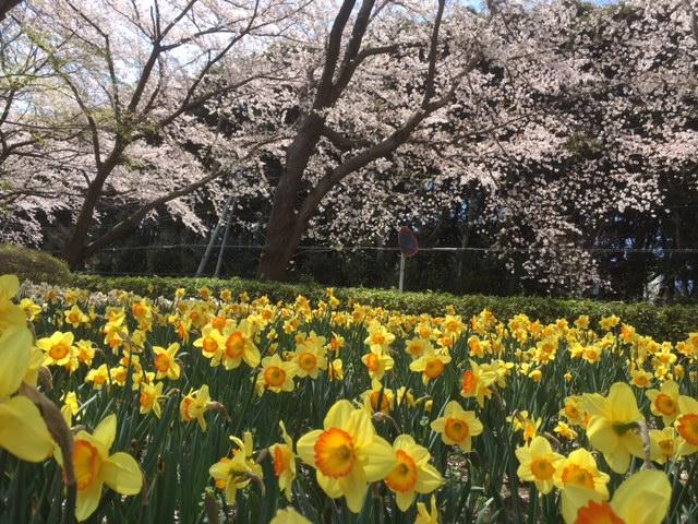 萱田(かやだ)地区公園で開催される花のフェスティバル第1弾「スイセンまつり」