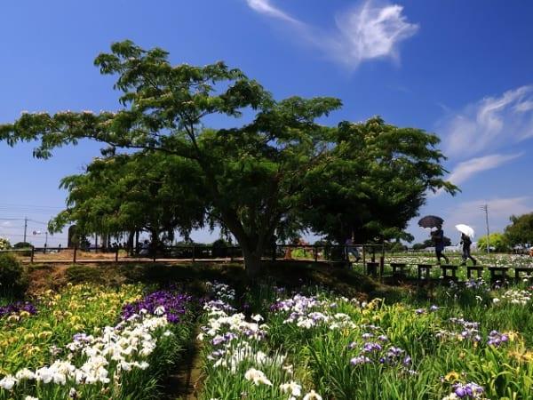 埼玉県久喜市の菖蒲城址あやめ園に咲き誇る花と木々