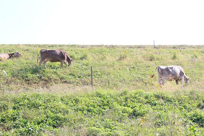 クルックフィールズの牛