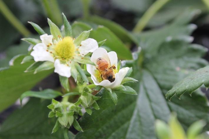 ミツバチとイチゴ