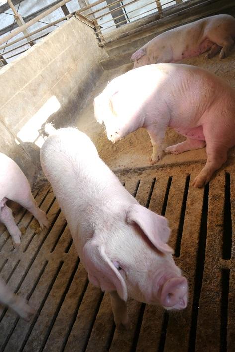 寺田畜産の養豚場にいる豚たち