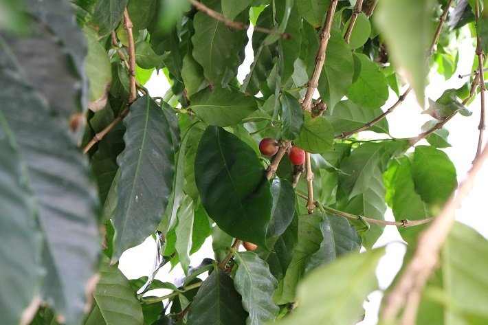 珈琲の木を栽培