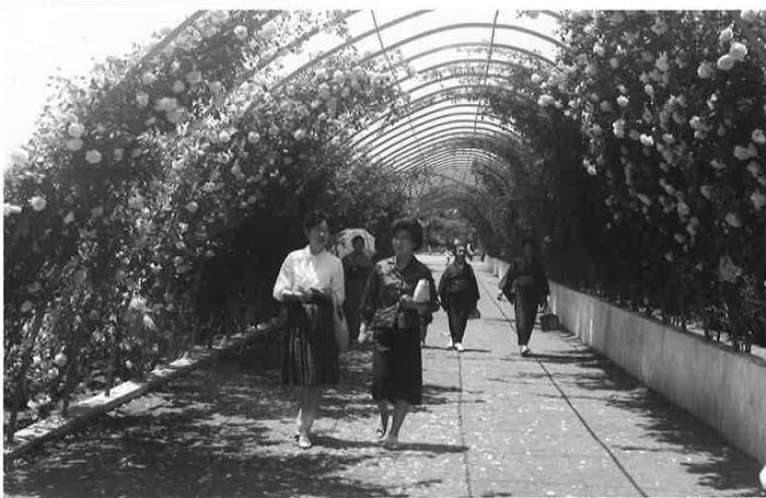 昭和中期谷津遊園のバラのアーチ