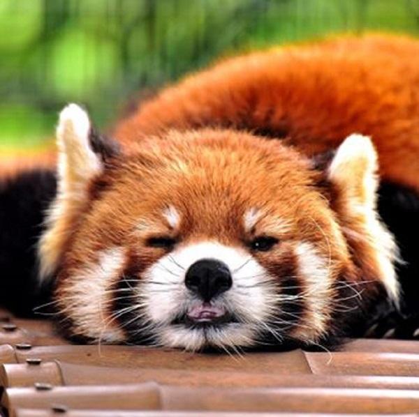 市川市動物園のレッサーパンダ、ライチ君