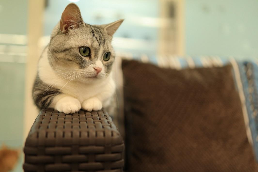 千葉市の猫カフェMyaoのマンチカン銀くん