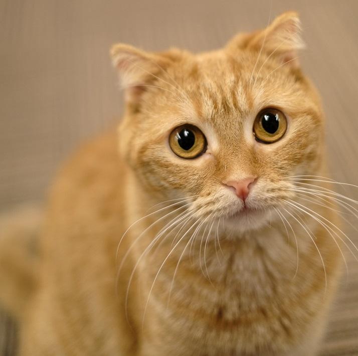 千葉市の猫カフェMyaoのスコティッシュフォールドまぐろ