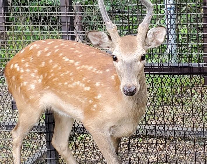 荒川に出没した鹿ケープくんのその後