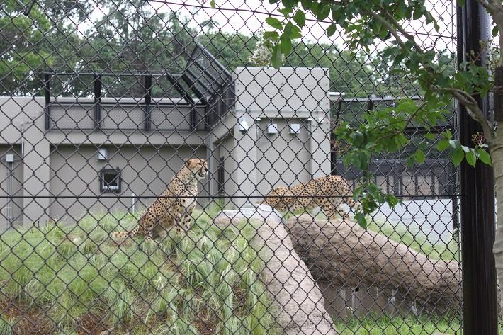 千葉市動物公園でお披露目されたチーターの兄弟