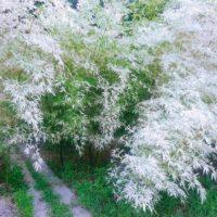 四街道の「白い竹林」と成田の「黄金の竹林」