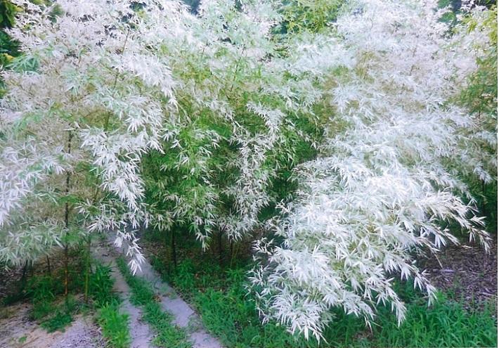 竹林は秋にかけて白さを増す