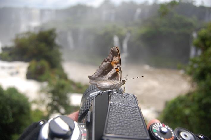 イグアスの滝の蝶々